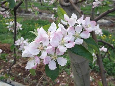 fleur de pommier gala